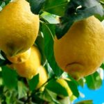 limón-limonero