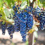 racimos de uva negra